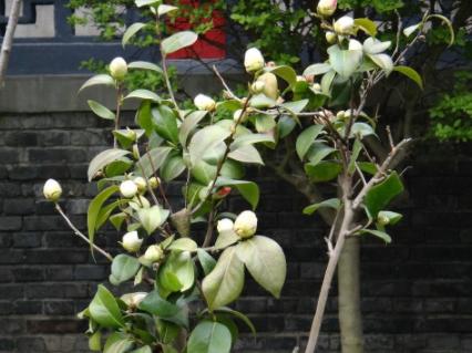 山茶树的种植山茶树几年才会结果?