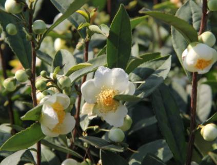 什么是茶树花茶树花有哪些功效与作用?