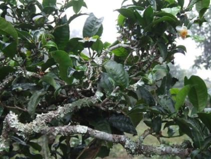 普洱茶是什么茶树老树普洱茶的周期划分