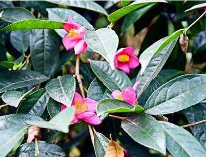 红山茶树怎么养好养吗?