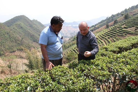 怎么提高茶品质茶产量提高茶品质茶产量的方法