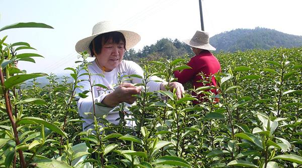 茶叶有哪些病虫害?茶叶若遇到病虫害农药防治需及时