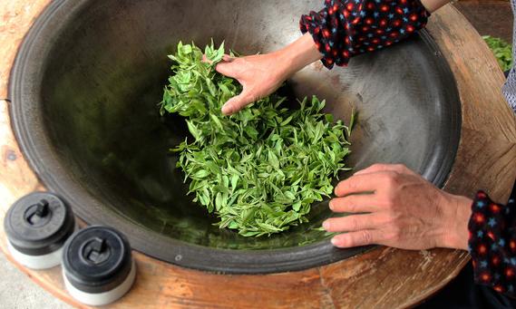 手工炒茶工艺名茶的采摘和鲜叶处理技术