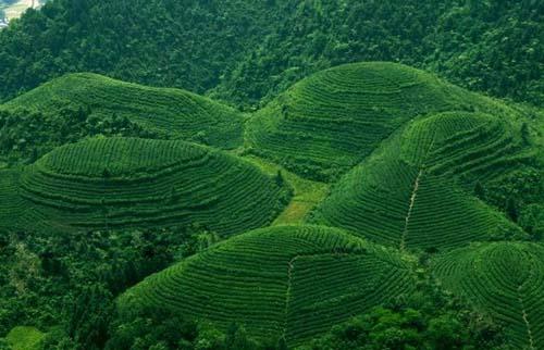 湄潭翠芽生产环境