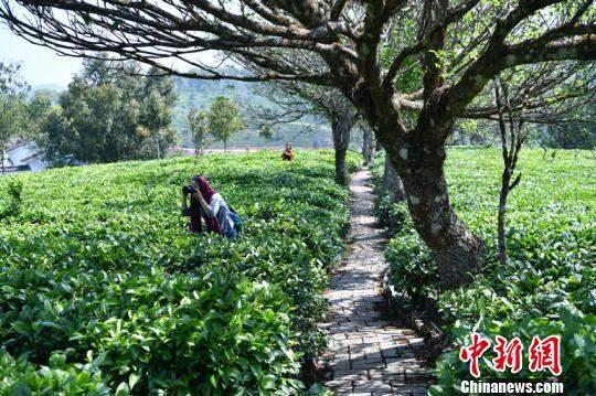 2018云南明前茶量价齐增,高优生态茶价增幅超30%