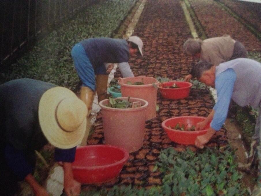 碧螺春茶树如何栽培