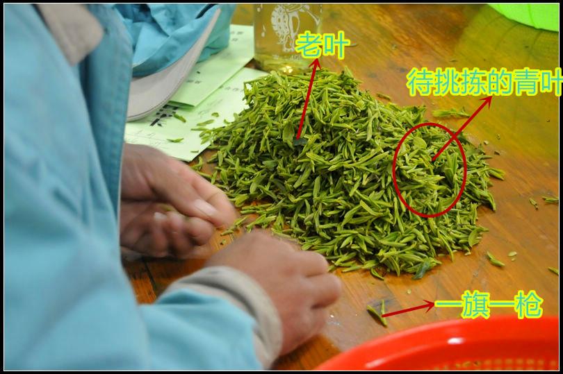 碧螺春茶叶重要工序之挑拣青叶