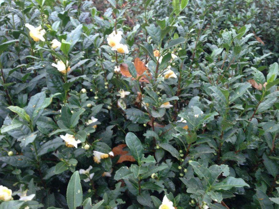 碧螺春茶树是如何培育出来的?