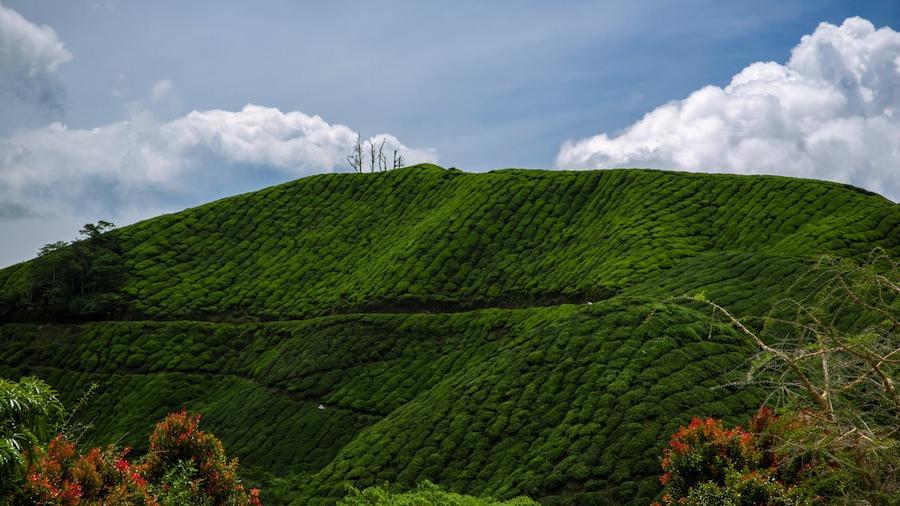 茶树起源的时间与地点介绍