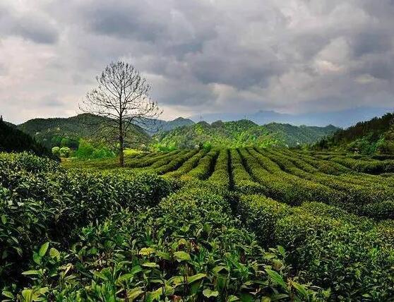茶叶采制工具的发展