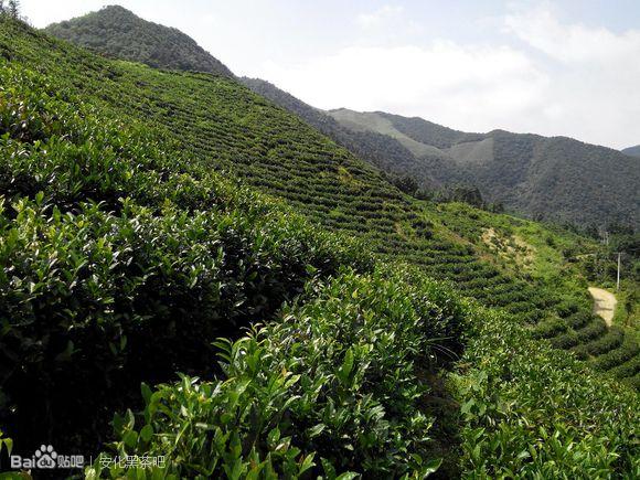 安化黑茶-芙蓉山
