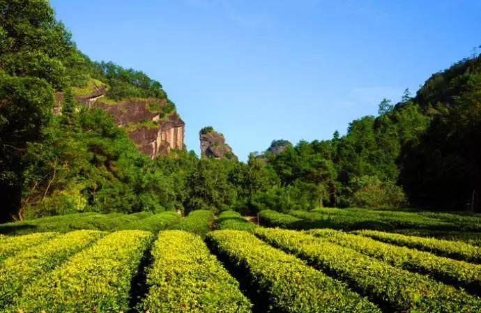 名山出名茶——武夷岩茶