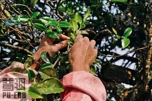 古树茶:了解普洱茶的制作流程