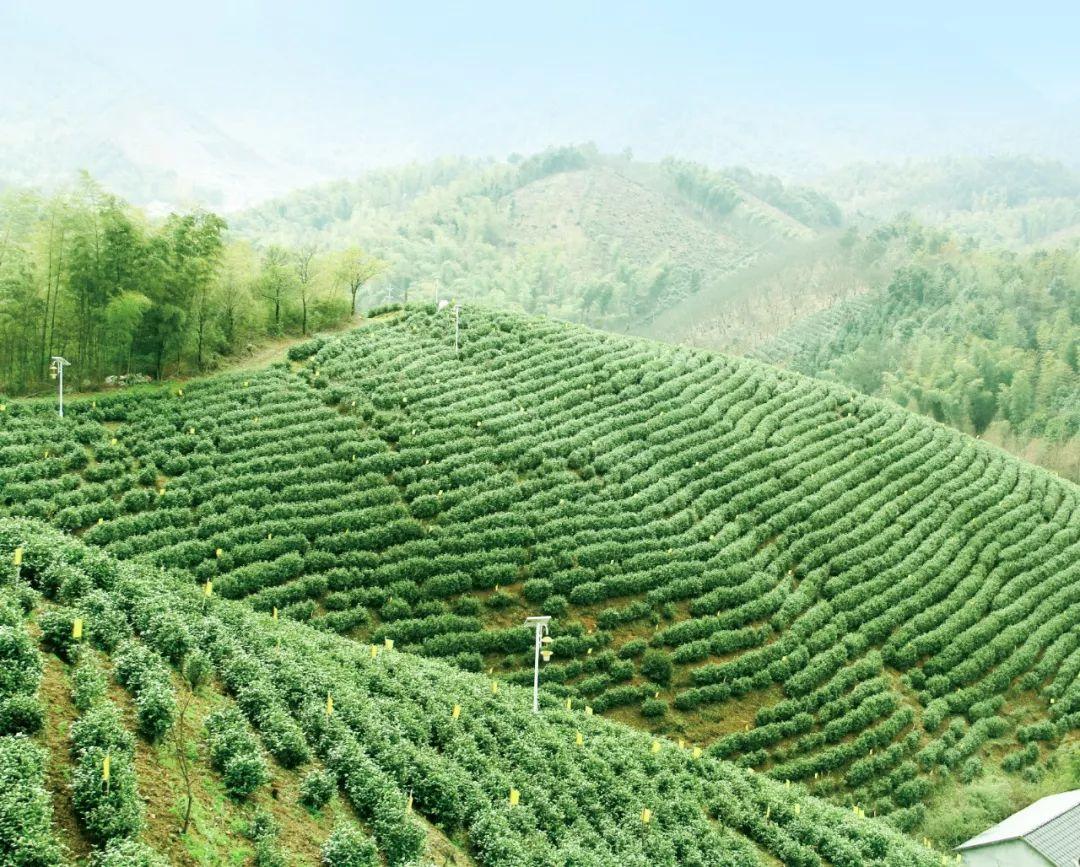 【徽茶·百科】茶苗种植后有哪些注意事项