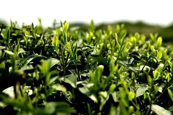 茶有春、夏、秋之分,怎么去鉴别