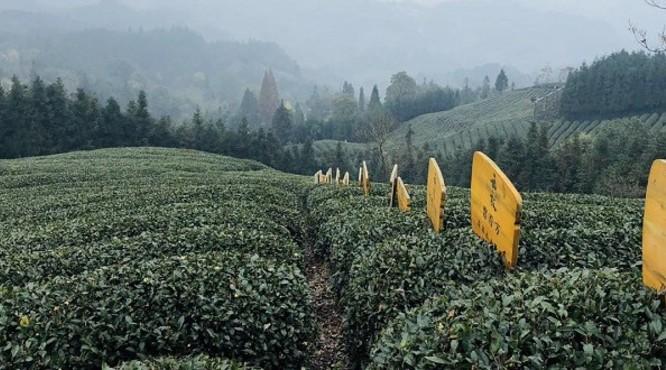 云放峨眉茶园的茶到底好在哪儿?