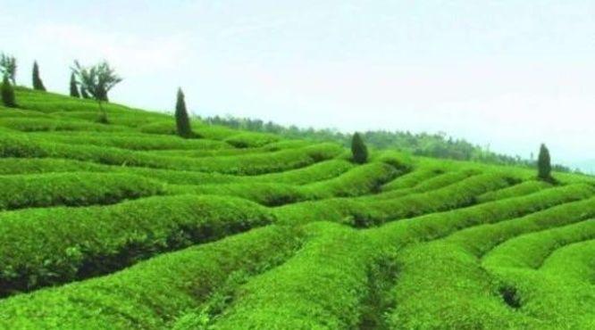 """小茶叶有""""大作为"""":""""茶e有道""""茶产业扶贫采购活动地区介绍-陕西紫阳"""