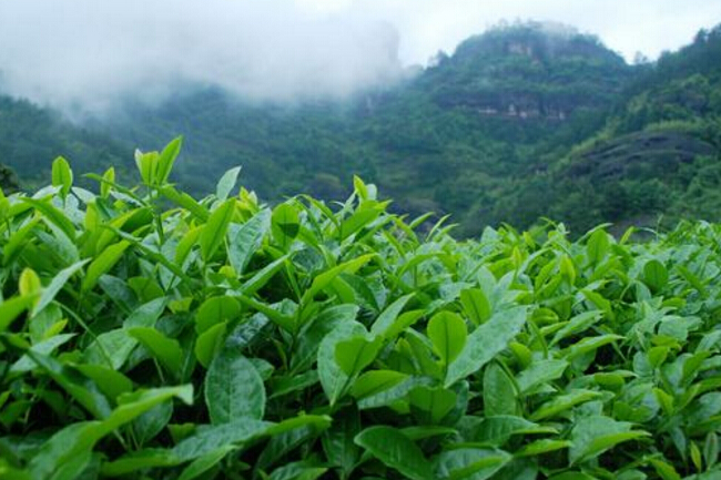 一起来看看武夷岩茶的生长环境是怎样的吧