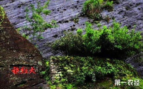 世界自然与文化遗产:武夷山母树大红袍