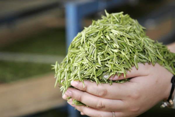 桂林毛尖茶的物质成分构成及其重要功效