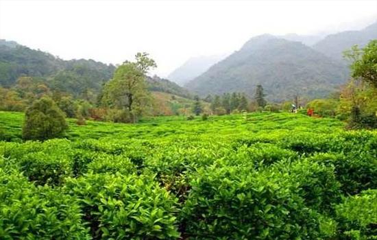 祁门红茶的历史你知道祁门红茶的起源吗?