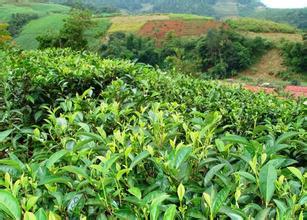 云南滇红茶的茶史追溯