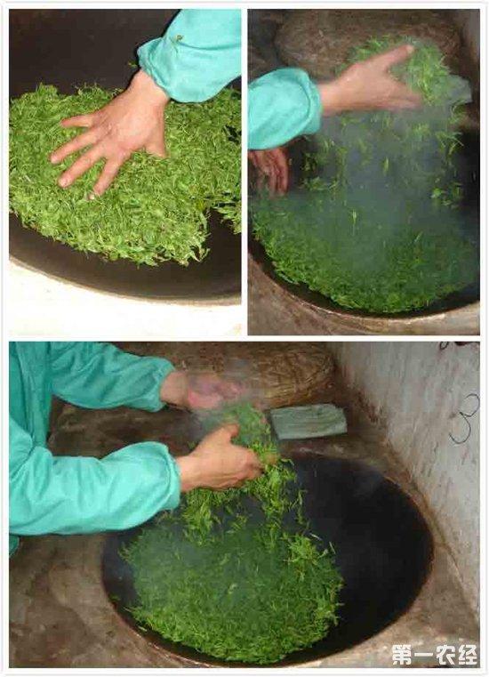 碧螺春的炒制过程,碧螺春茶叶炒制全流程
