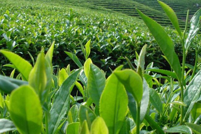 碧螺春茶的生长环境对气象条件的要求