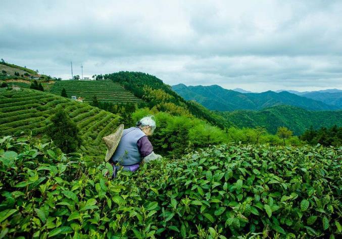 玫瑰花茶历史介绍玫瑰花茶的产地有哪些