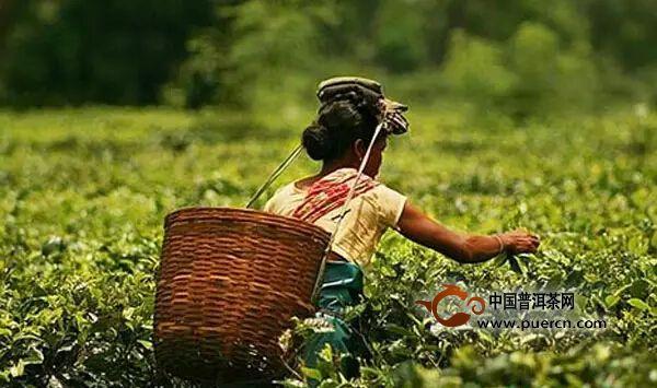 印度阿萨姆红茶因气候原因面临产量危机