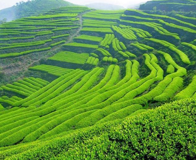 什么是普洱茶普洱茶的历史与文化解读