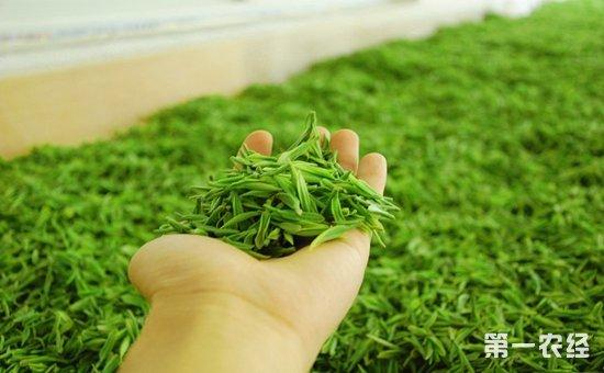 如何使用机械制作金山翠芽?金山翠芽的机械加工法