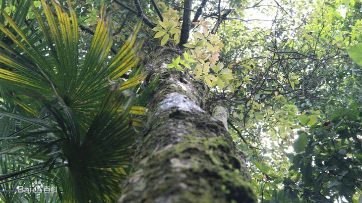 千年老鹰茶树的传说老鹰茶的泡法与功效