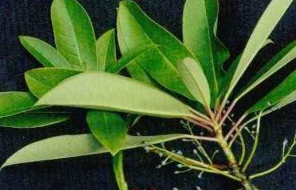 喝仙人掌茶有哪些功效对身体有哪些好处呢?