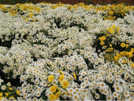 杭白菊的栽培和种植都有哪些方法