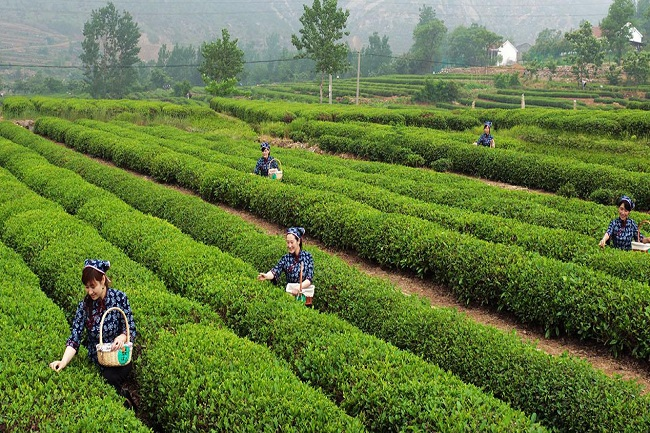 春茶滋味鲜活且香气宜人富有保健作用