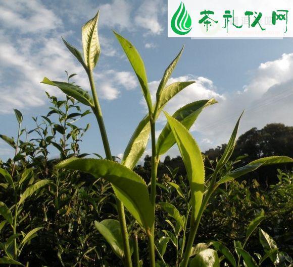 易武普洱茶产区