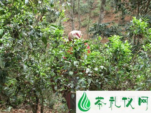 云南普洱茶鲜叶采摘的最佳时间