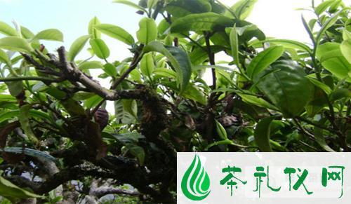 古树茶的迷人气质普洱古树茶有何特点?