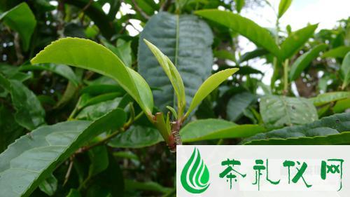 普洱茶六大产区的划分不是凭空的,是有依据的