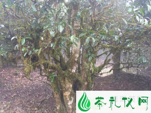 栽种普洱茶树有讲究
