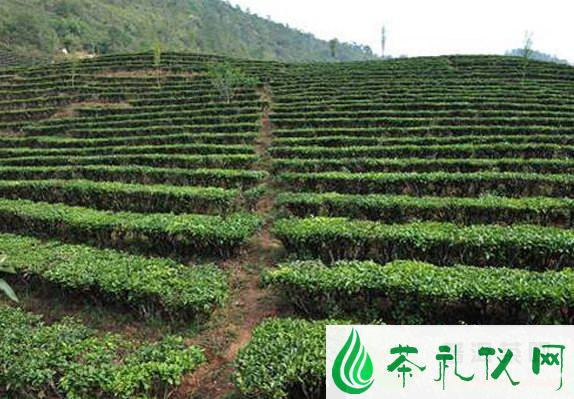 普洱茶茶山与茶树您知道多少?