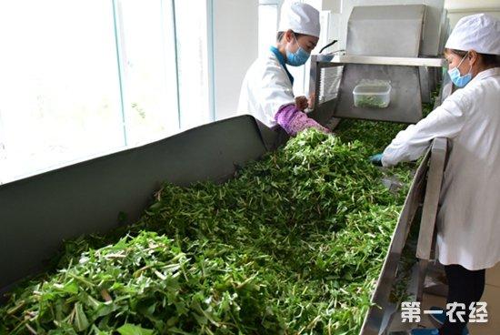 参观蒲公英茶生产车间,看蒲公英茶怎么制作