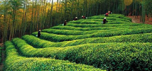 桂东玲珑茶的产地及特点