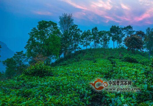下关沱茶:解析晒青毛茶的初制工艺