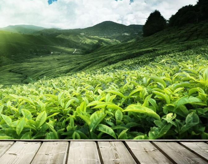 重庆特产茶叶之永川秀芽茶叶的具体介绍