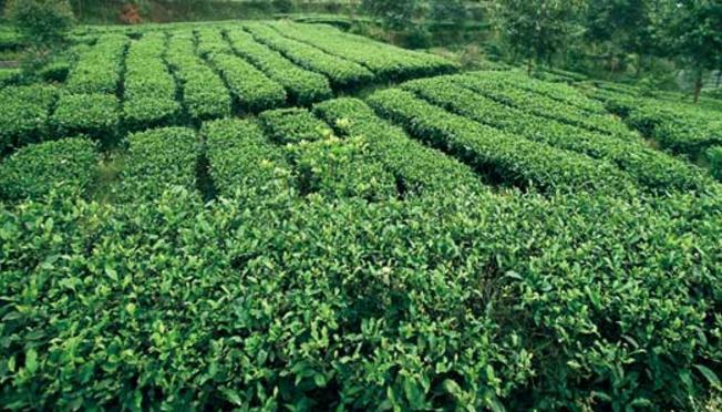 永川秀芽如何制作,永川秀芽的产地特点
