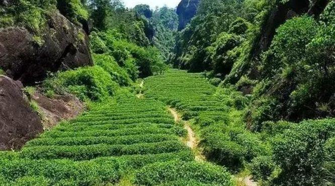 武夷山的茶起源于哪儿?