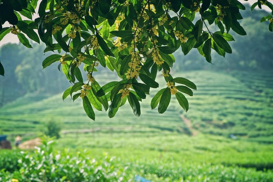 杭州龙井茶哪里好,杭州龙井茶去哪买,杭州哪里可以买到龙井茶