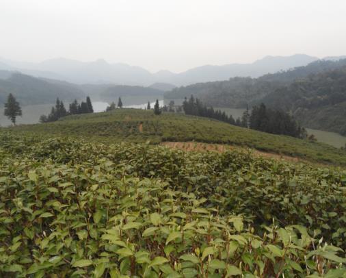 粤北名茶——仁化银毫茶